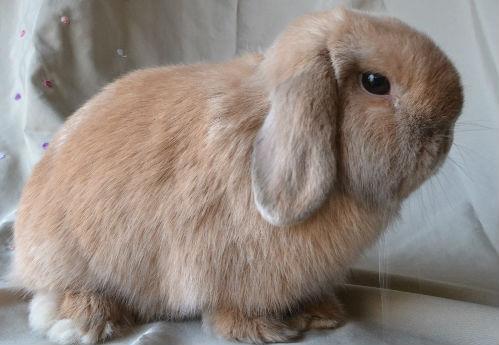 lapins nains bélier